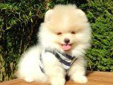 Pomeranian Boo Teddy Face Dişi Erkek Yavrularımız