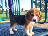 2 Aylık Orijinal Beagle Yavrularımız