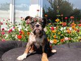 Tri̇ Merle İngi̇li̇z Bulldog Yavrularimiz