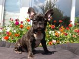 Safkan French Bulldog Yavrularımız