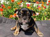 Black Tan  İngi̇li̇z Bulldog Yavrularimiz
