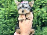 Mini Yorkshire Terrier Dişi Yavrumuz