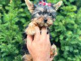 0 Numara Dişi Yorkshire Terrier Yavrumuz