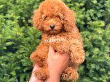 Muhteşem Red Toy Poodle Erkek Yavrumuz
