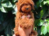 Muhteşem Red Brown Toy Poodle Erkek Yavrumuz