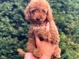 Safkan Red Toy Poodle Erkek Yavrumuz