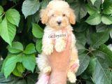 Apricot Kayısı Renk Toy Poodle Dişi Yavrumuz