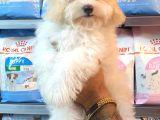 Muhteşem Mini Boy Maltipoo Bebekler