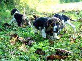 Tatli Beagle