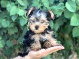 Yorkshire Terrier Bebekler