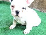 French  Bulldog Yavrular