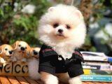 Evde Bakımı En Kolay PomeranianBoo Yavrularımızdan