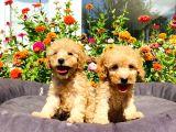 Mükemmel Güzelli̇kte Toy Poodle Yavrularimiz