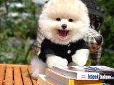 Yeni Gelen Safkan Pomeranian Bo Oğlumuz 'mes'