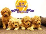 Çiftlikten Orijinal Toy Poodle Yavruları