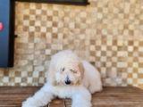 Standart (Dev) Poodle Yavru