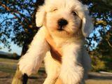 Terrier Maltese Erkek
