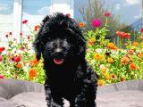 Black Toy Poodle Yavrumuz