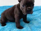 Blue Ve 2 Si̇yah Erkek French Bulldog Bebekler