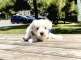 Maltese Terrier Mini Kar Beyaz Yavrularımız