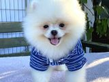 Teddy Bear Pomeranian Boo Yavrular