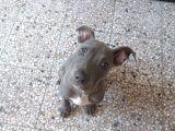 Blue Nose Pitbull 3 Aylık Erkek