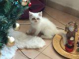 Egzotik Shorthair Erkek Kedi