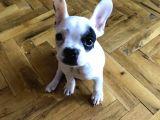 2.5 Aylık Fransız Bulldog