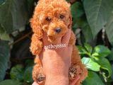 Sevimli Red Dişi Toy Poodle Yavrumuz