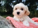 Kore kan Maltese ve Poodle Mix