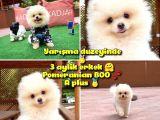 0,50 Mikro Küt Burun Teddyface Ödül Adayı 3a Plus Safkan Boo Pomeranian