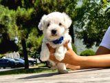 Tatlı Maltese Terrier