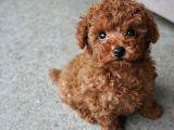 Toy Poodle Redbrown Safkan Orjinal Gerçek Kaliteli Garantili