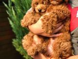 Orjinal Toy Poodle Yavrular