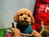 Toy Poodle Yavrularımız