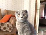 Orjinal ırk Scottish Fold 5 aylık kedi