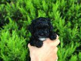 Anne Altından Dişi Black Toy Poodle Yavru