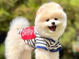 Ayıcık Sevimli Boo Pomeranian Yavrular