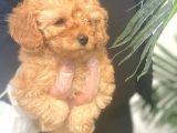 Toy Poodle Pasaportlu Garanti̇li̇ Yavrularımız