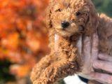 A Kali̇te Poodle Yavrularımız