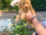 Toy Poodle Bebeklerimiz