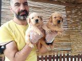 Golden Yavrularımız