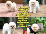 0,40 Mikro Küt Burun Teddyface Ödül Adayı AA Plus Safkan Boo Pomeranian