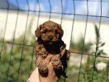 Safkan Toy Poodle Yavrular