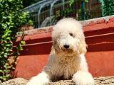 İstanbul Standart Dev Poodle Yavrular