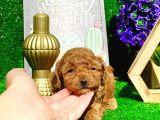 Anne Altından Show Kalite Toy Poodle Yavrularımız
