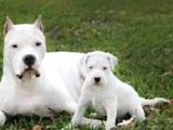 Secereli Uluslararası Dogo Argentino Yavruları