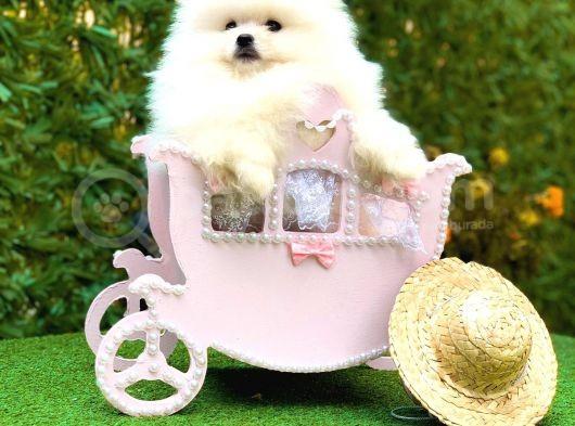Irkının En İyi Temsilcilerinden Pomeranian Boo Yavrular