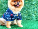 Mini Boy Pomeranian 18 Aylık Erkek