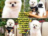 İstanbul AA Plus Safkan Boo Pomeranian